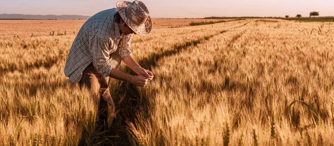 agronomist-farmer-is-inspecting-ripening-ears-of-G9LANUY